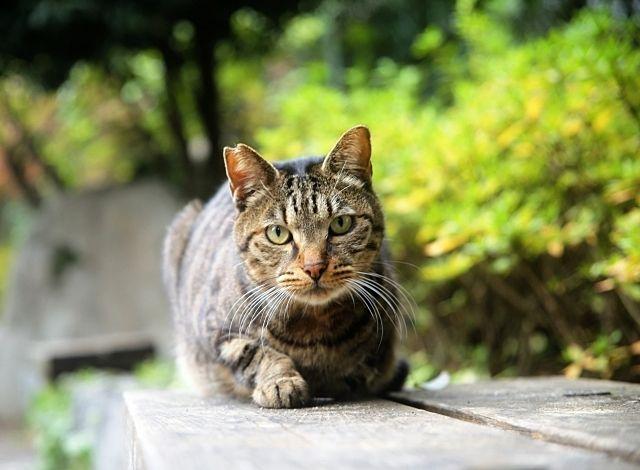 耳先に小さくVカットをいれた不妊去勢手術後の猫