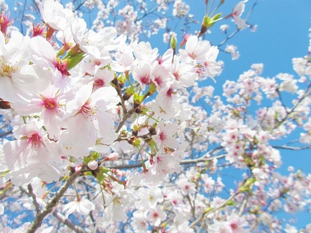 向山庭園の観桜会、イメージ画像