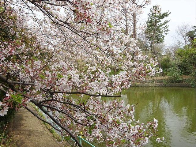 武蔵関公園のひょうたん池の周りに咲く桜