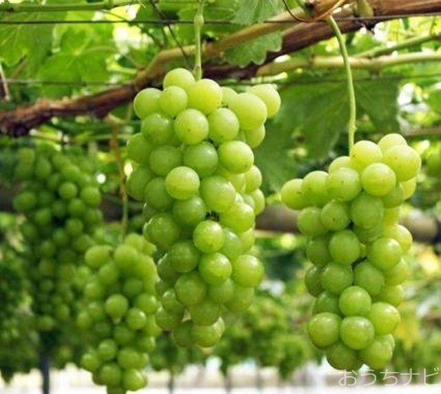 東京ブランドの高級ブドウ「高尾」や、大粒で甘みが強く皮ごと食べられる「シャインマスカット」などが生産されています。