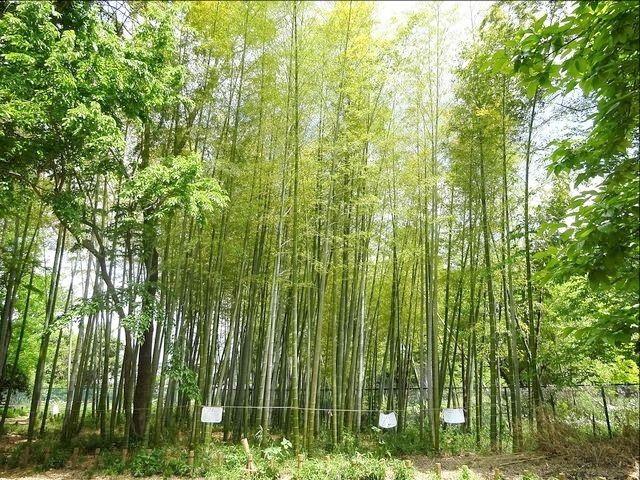 井頭の森緑地のたけやぶ