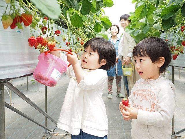 イチゴ狩をする保育園の子ども