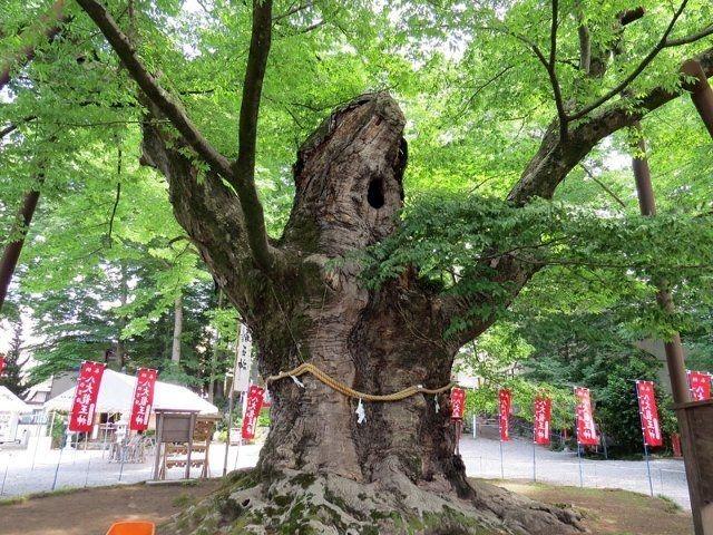 樹齢約1000年の「龍神木(駒つなぎのケヤキ)」