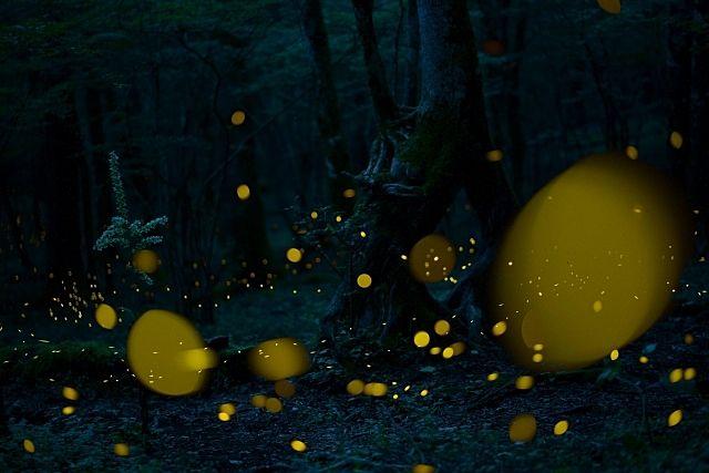 幻想的な光を灯すほたる