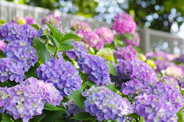 色鮮やかな紫陽花