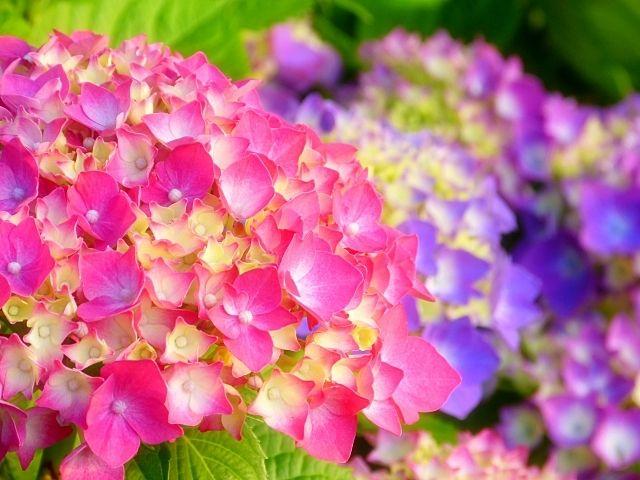 色鮮やかな紫陽花2
