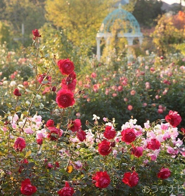 四季の香ローズガーデンでは、10月7日から29日まで、秋バラの開花に合わせてオータムフェスティバルを開催しています。