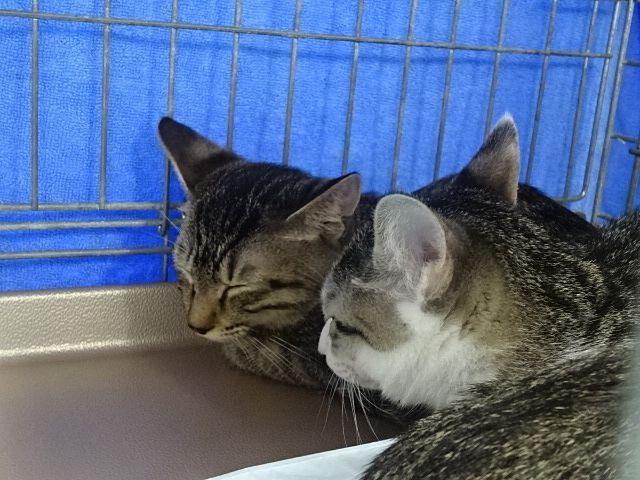 譲渡会で新しい買主を待つネコ達 スプラッシュ