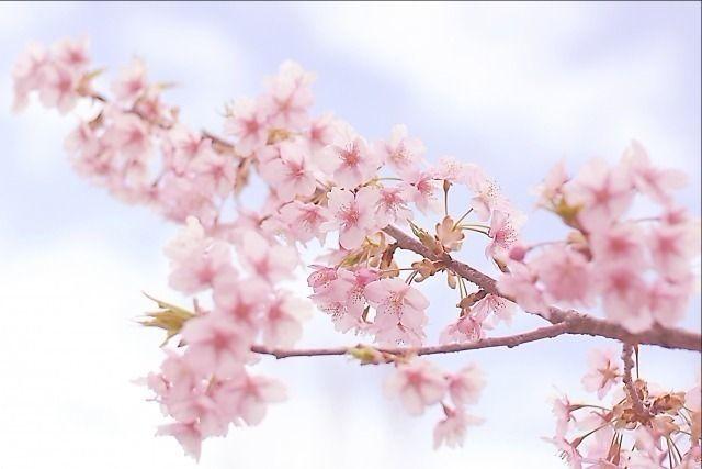 春を楽しむ~4月7日(土曜日)観桜茶会、桜と江戸東京野菜を楽しむ、まちなかコンサート‥向山庭園にて催しされます。