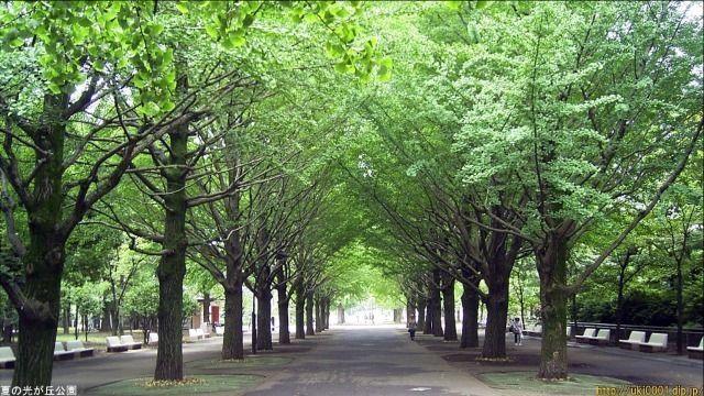 新緑の光が丘公園のイチョウ並木