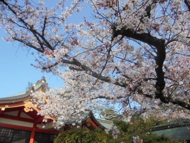 東伏見稲荷神社の社殿脇の桜
