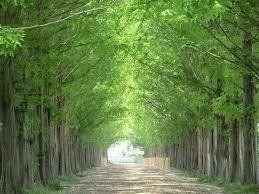 秋川高校といえばメインストリートに繁るメタセコイアの並木道