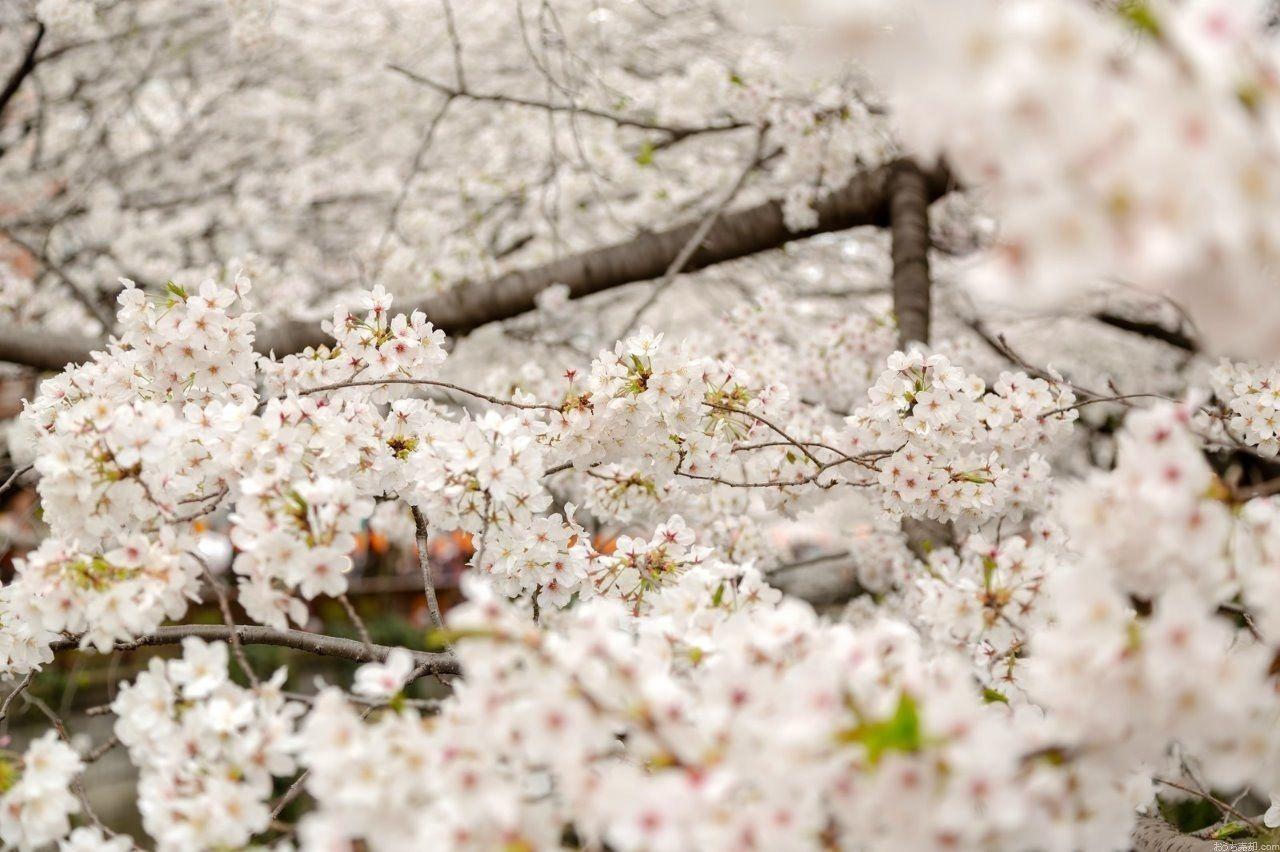 新年度を迎え、桜が見ごろになってきました。西東京市内のオススメお花見スポットをご紹介します。