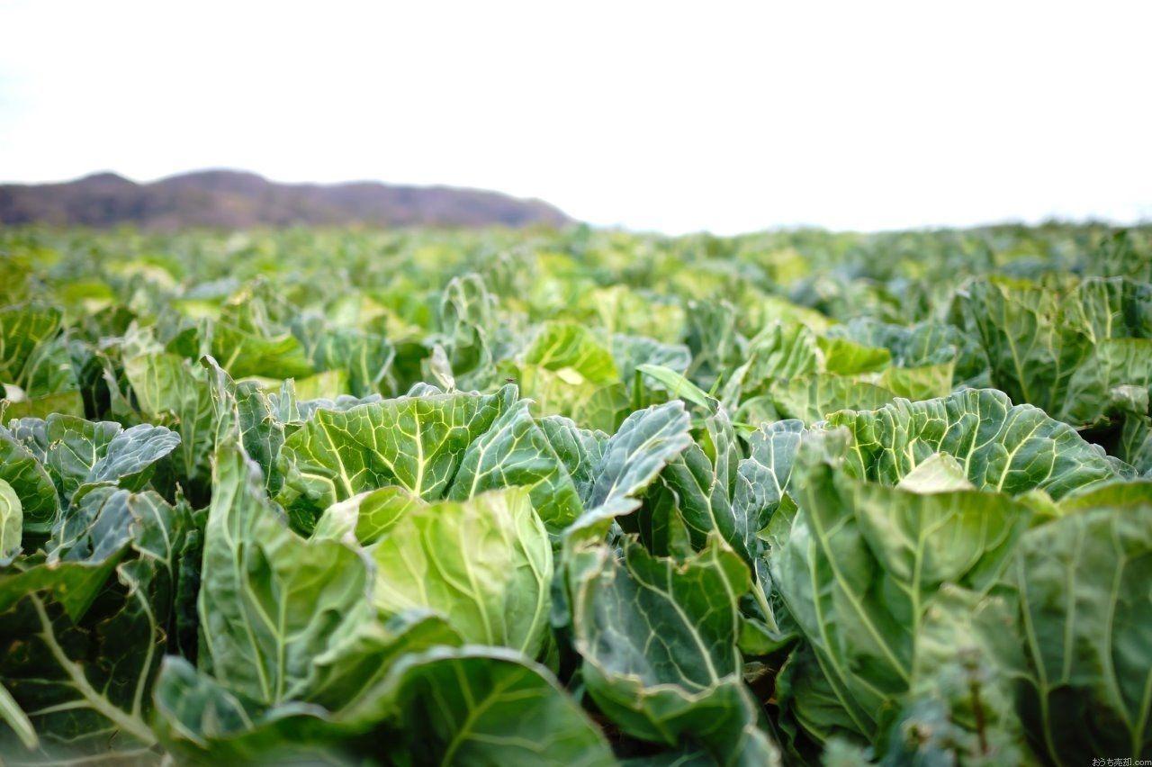 何気なく食べているこの野菜に、実は不思議な秘密が隠れていることをご存知ですか?