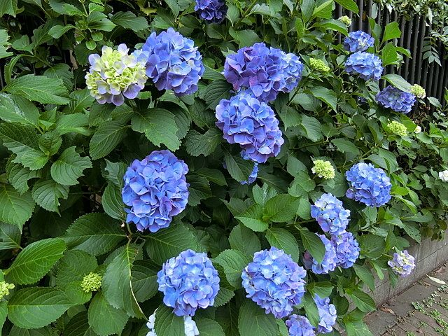 屋敷林の紫陽花3