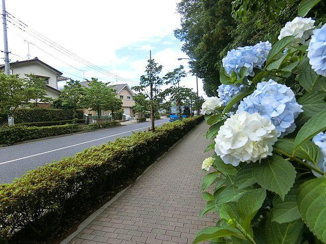 屋敷林の紫陽花5