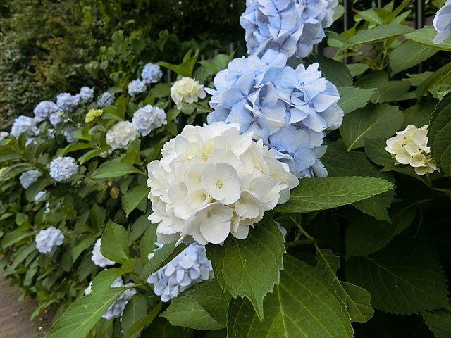 屋敷林の紫陽花4