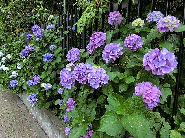 屋敷林の紫陽花