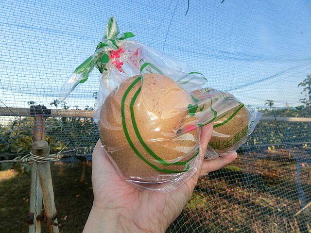 ぬくい果樹園さんで販売する大玉の新高を2個手にした様子