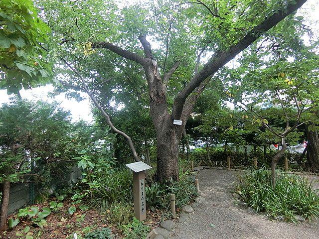園内にあるねりまの名木