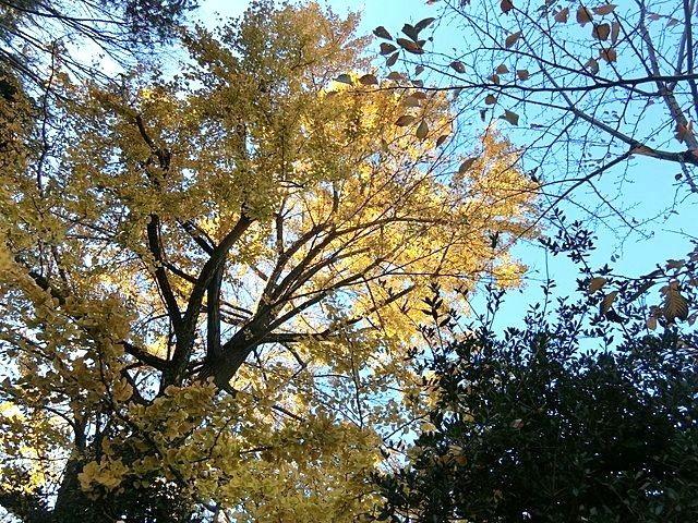 武蔵関公園のイチョウ