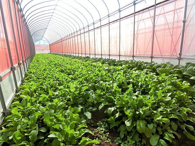 矢ケ崎農園さんのハウスで育てられる野菜