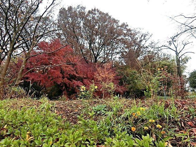 屋敷林の紅葉1